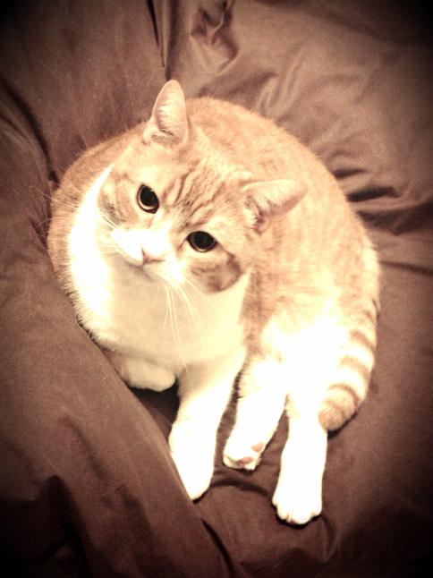 ふとんの上でこちらを見つめる猫のマンチカンの写真