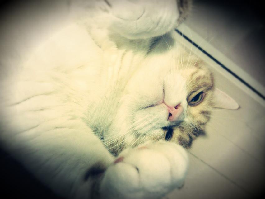仰向けで怖い顔の猫のマンチカンの写真