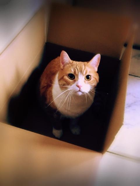 段ボールからこちらを見上げる猫のマンチカンの写真