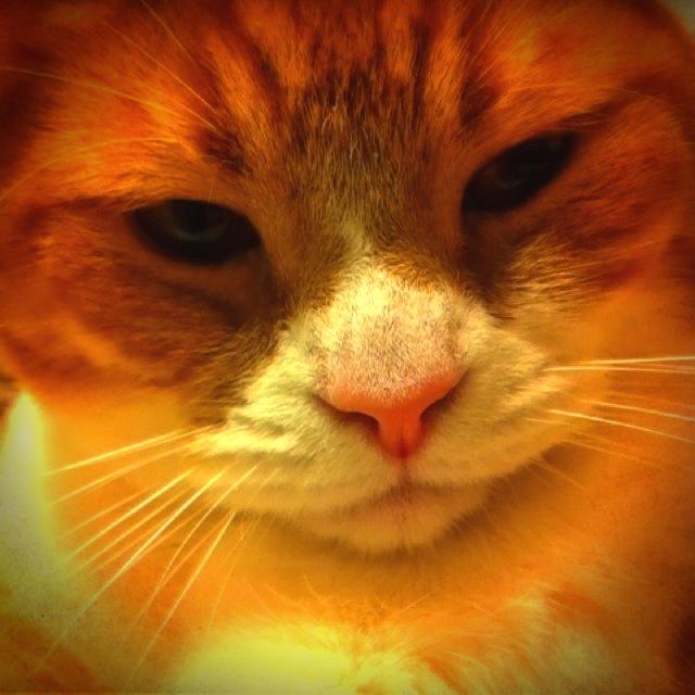 どアップでふてぶてしい顔の猫のマンチカンの写真