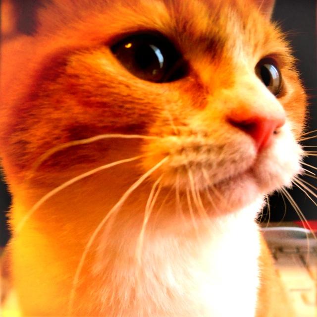 丸いドヤ顔の猫のマンチカンの写真
