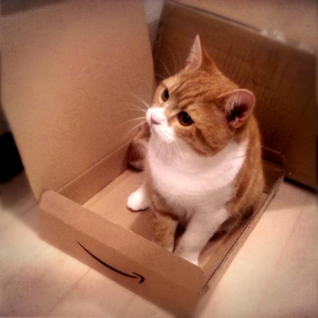 どんなに浅くてもAmazonの箱には入る猫のマンチカンの写真