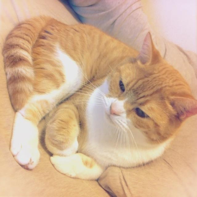 ふとんの上で物思いにふける猫のマンチカンの写真