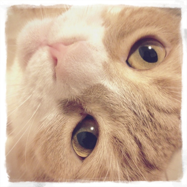 ドアップでこちらを見つめる猫のマンチカンの写真