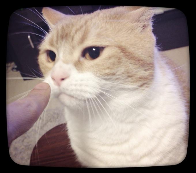 指をくんくんする猫のマンチカンの写真