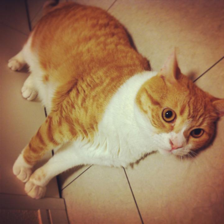立ってるように見えて実は寝てる猫のマンチカンの写真