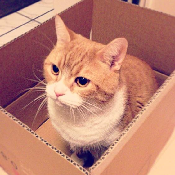 もはやあたりまえのごとく段ボールの中に収まる猫のマンチカンの写真