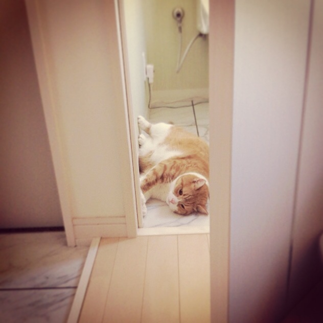 ドアを開ければそこに猫のマンチカンの写真