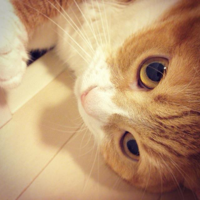 心ここに在らずな猫のマンチカンの写真