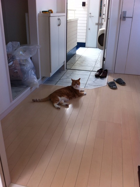 荷解きが終わるころには新居に慣れた猫のマンチカンの写真