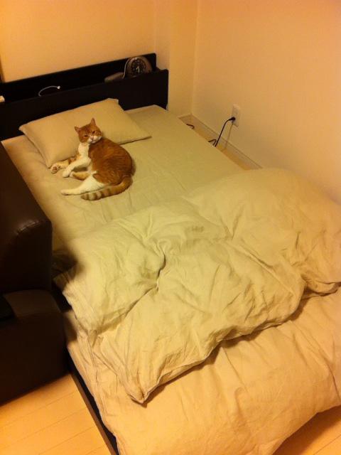 新しいベッドも自分のモノにする猫のマンチカンの写真