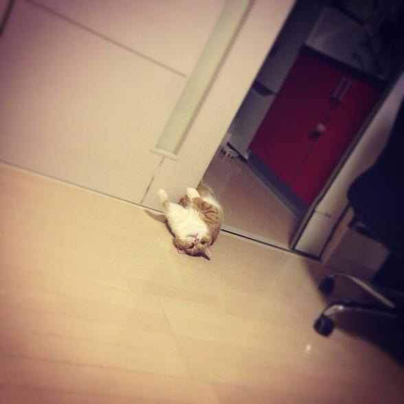 なにやら遠くで身悶える猫のマンチカンの写真