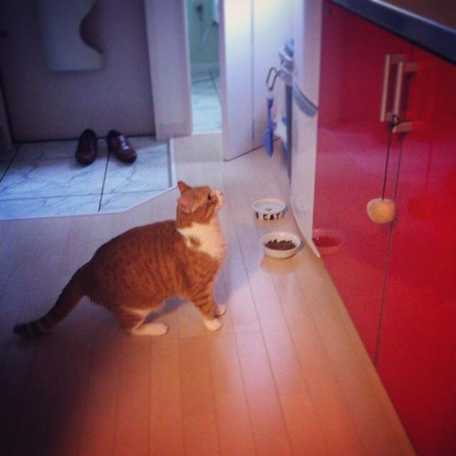 ジャンプを試みる猫のマンチカンの写真