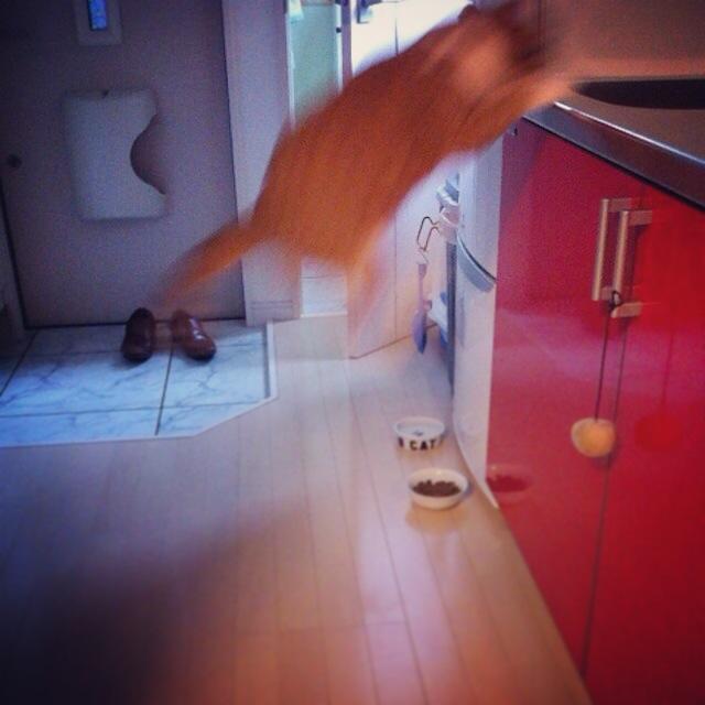 挑戦7回目くらいで跳躍成功する猫のマンチカンの写真