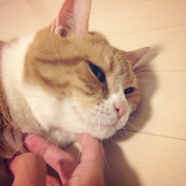 苦しゅうないもちお猫のマンチカンの写真