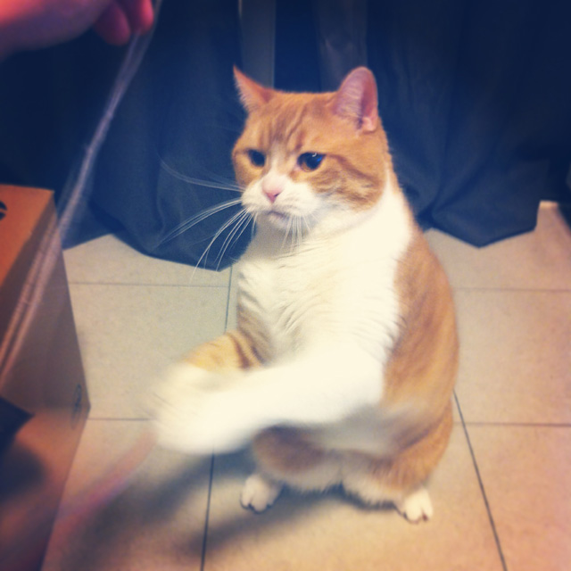 スパーリングする猫のマンチカンの写真