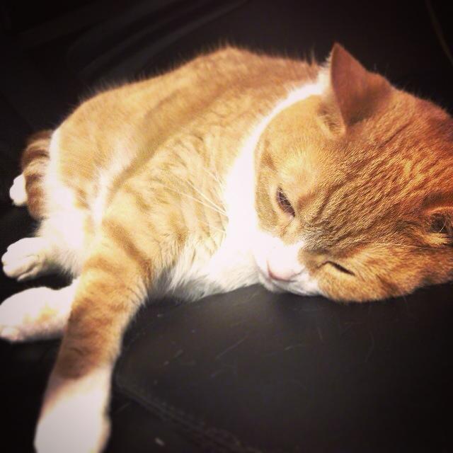 バテる猫のマンチカンの写真