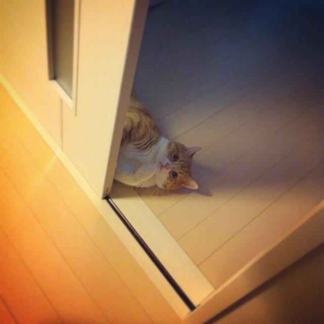 見つかる猫のマンチカンの写真