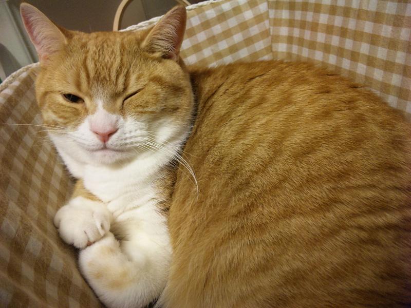 しかめっ面でカゴに入る猫のマンチカンの写真