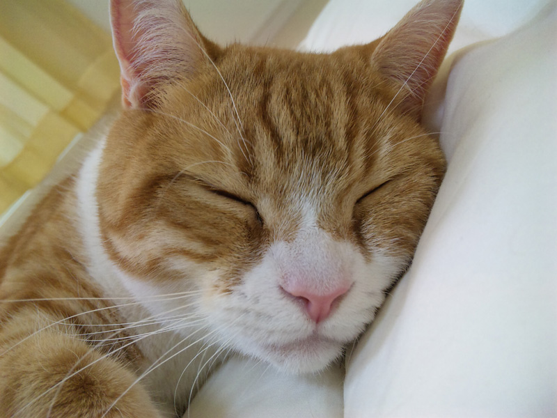 見慣れないふとんにうっとりの猫のマンチカンの写真