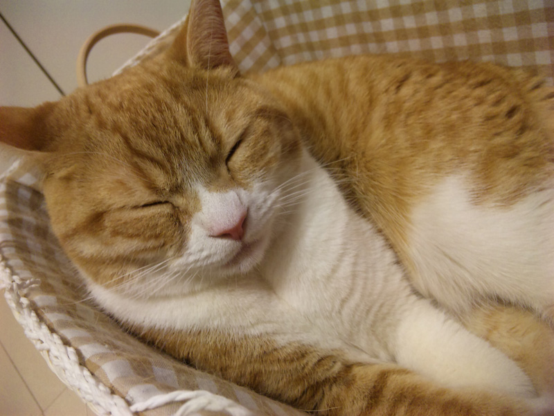 カゴの中で向きを変える猫のマンチカンの写真