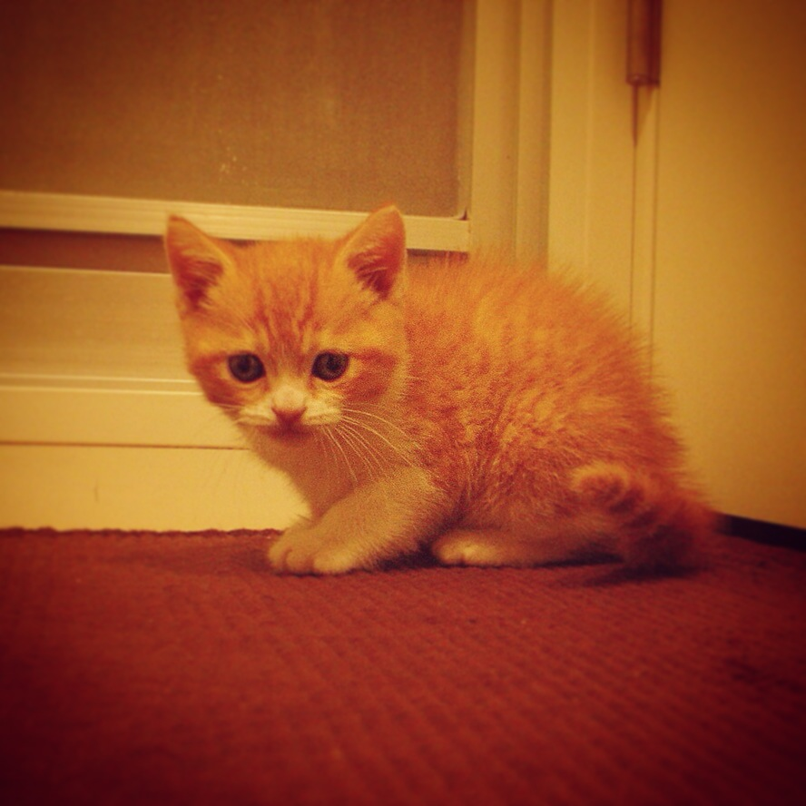 我が家に初めて来た猫のマンチカンの写真