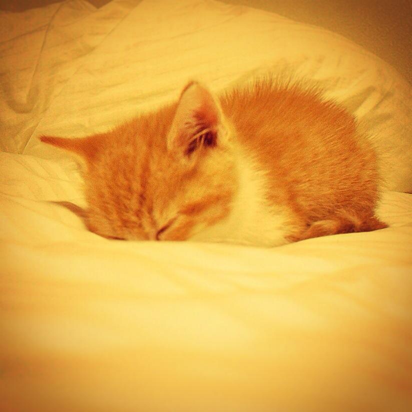 新天地でもとりあえず寝る猫のマンチカンの写真