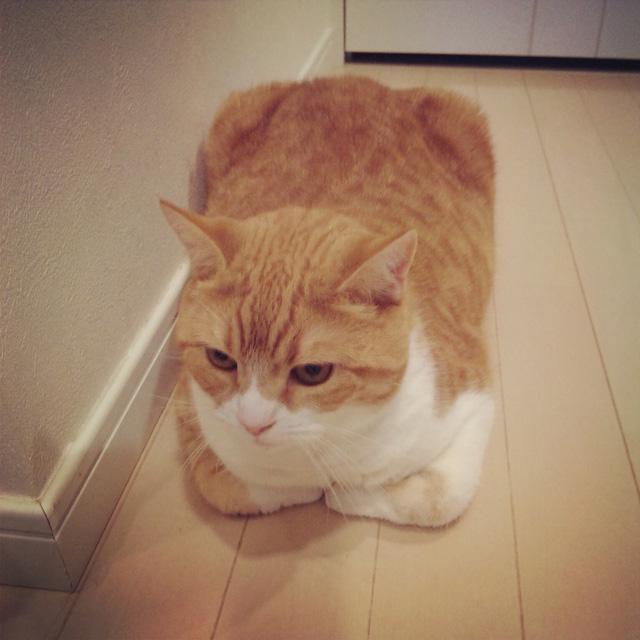 長方形な猫のマンチカンの写真