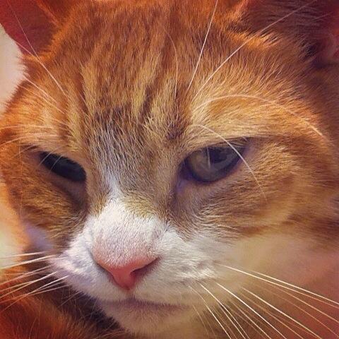 顔の肉もたわわな猫のマンチカンの写真