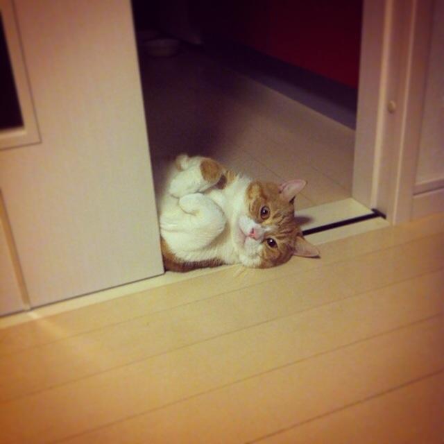 ニョキっと猫のマンチカンの写真