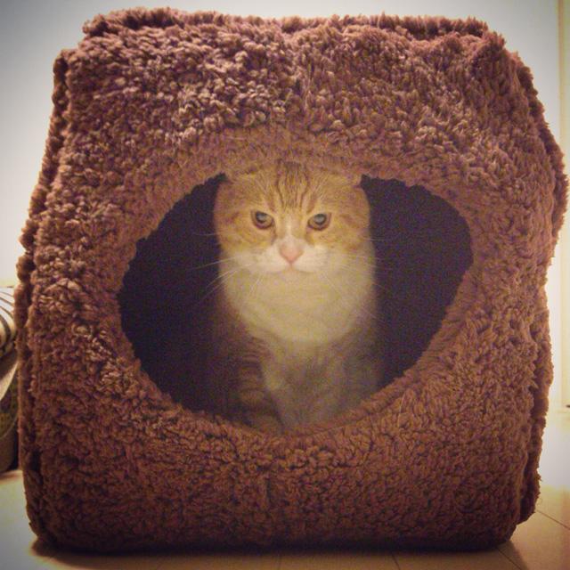 キャットハウスを自分のモノにした猫のマンチカンの写真