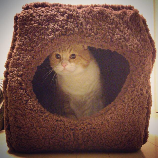 苦手なキャットハウスに挑戦する猫のマンチカンの写真