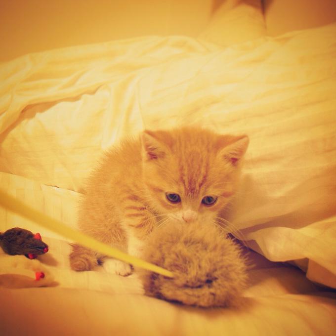 全てが未知との遭遇な猫のマンチカンの写真
