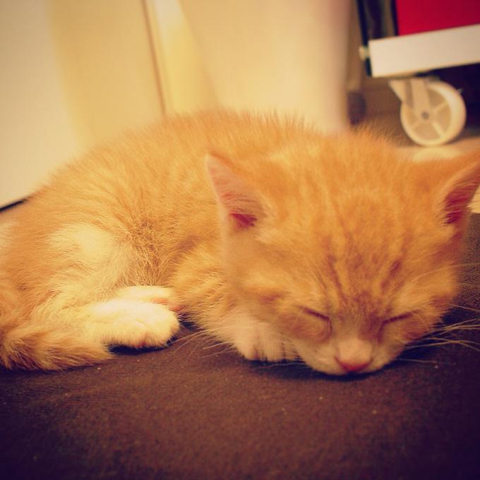 座布団に収まれる猫のマンチカンの写真