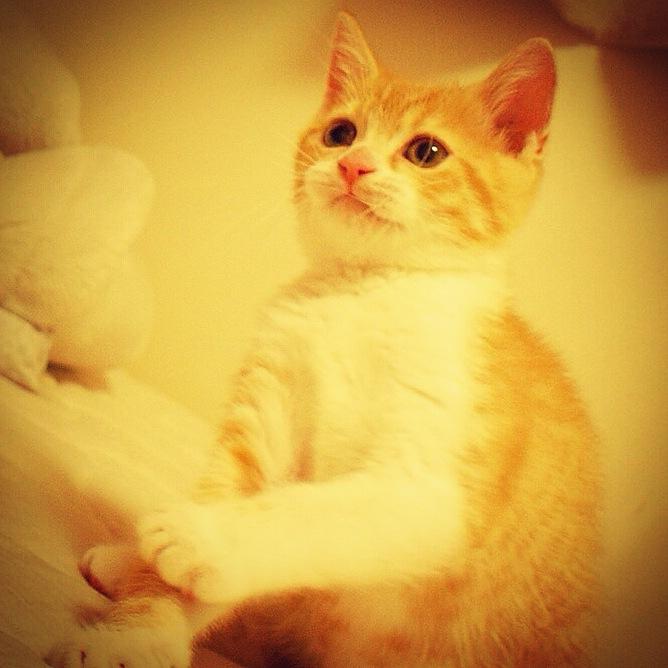 おもちゃを追いかける猫のマンチカンの写真