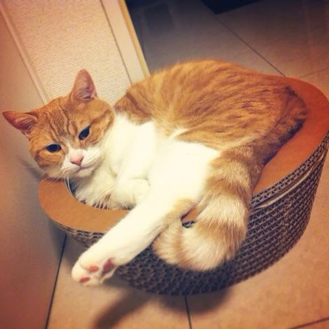 ふんだんにはみ出る猫のマンチカンの写真